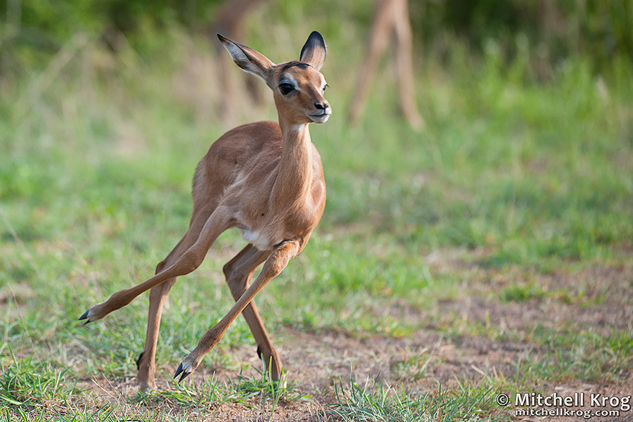Baby Impala Learning to Run - KrugerNational Park, South Africa